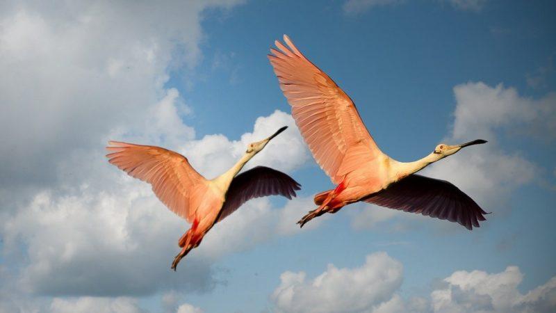 一緒に飛ぶ鳥